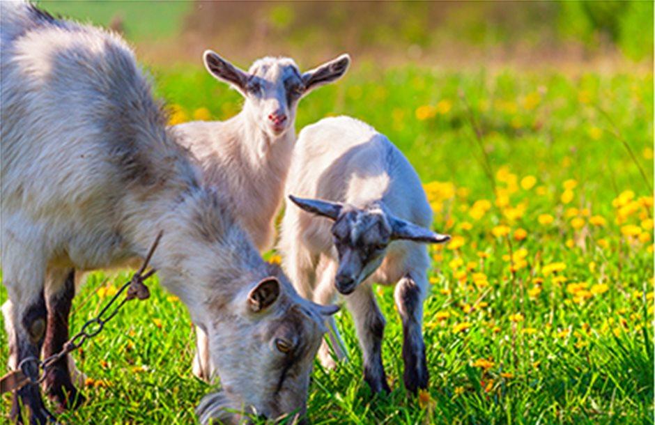 Με 10 ευρώ για ζωοτροφές στα αγελαία αιγοπρόβατα