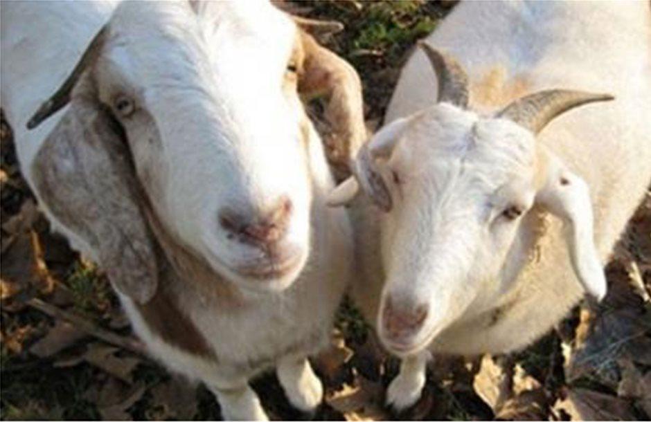 Παραλαβή μητρώου εκτροφής αιγοπροβάτων στη Λακωνία