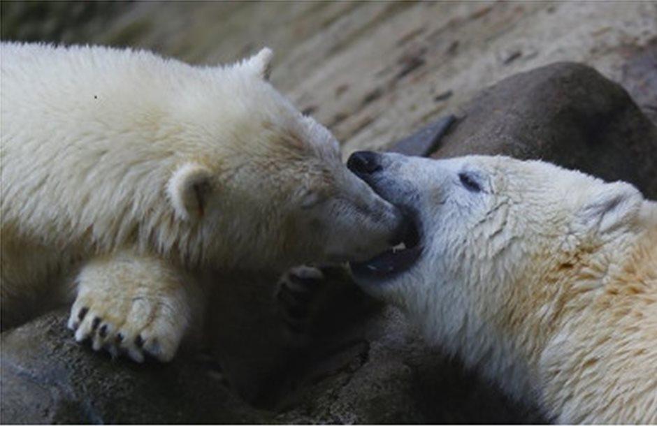 Κινδυνεύουν με εξαφάνιση οι πολικές αρκούδες